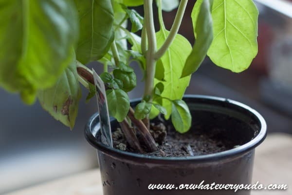 How to harvest and store fresh basil from OrWhateverYouDo.com